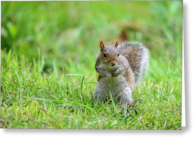 Portrait Of Cute Grey Squirrel Sciurus Carolininsis Satnding On  Greeting Card