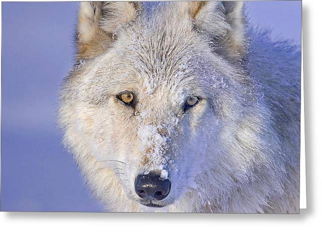 Portrait Of The White Wolf 540f Greeting Card