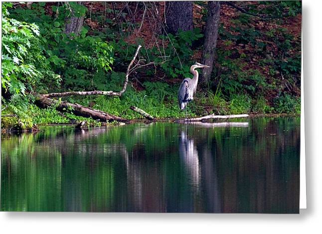 Posing Great Blue Heron  Greeting Card