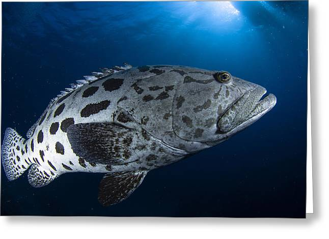 Grouper Greeting Cards - Potato Grouper, Australia Greeting Card by Todd Winner