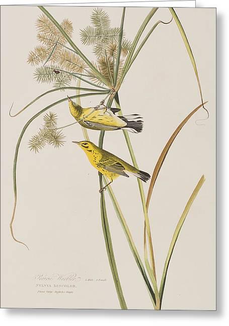 Prairie Warbler Greeting Card by John James Audubon