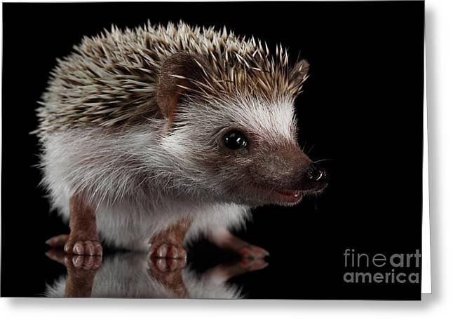 Prickly Hedgehog Isolated On Black Background Greeting Card