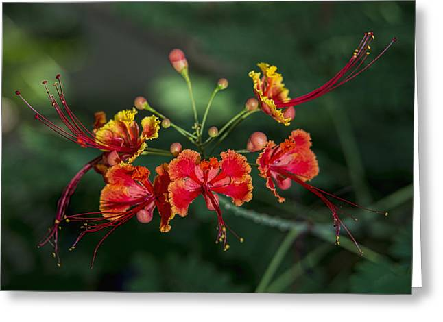 Pride Of Barbados  Caesalpinia Greeting Card
