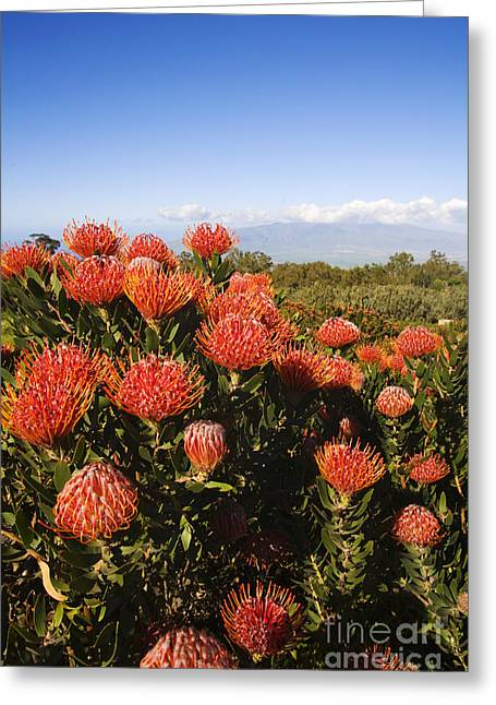 Protea Blossoms Greeting Card by Ron Dahlquist - Printscapes