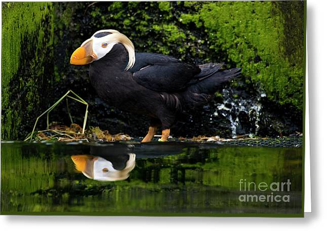 Puffin Reflected Greeting Card