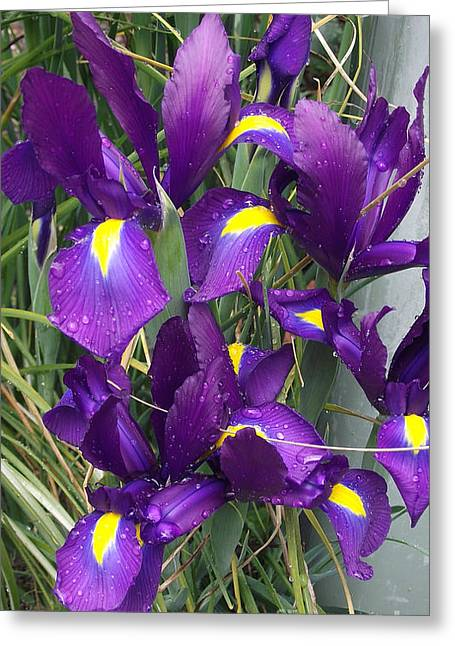 Purple Iris Greeting Card by Gail Salitui