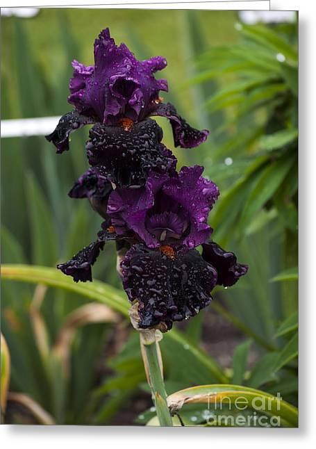 Purple Iris With Water Drops Greeting Card