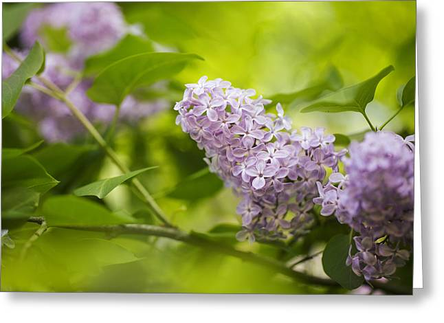 Purple Lilac Greeting Card by Nailia Schwarz