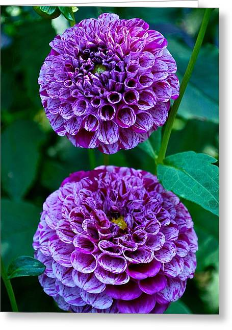 Purple Passion Dahlia  Greeting Card