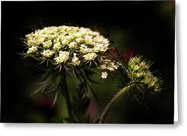Queen Anne's Lace Greeting Card by Jessica Jenney