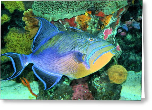 Ocean Creatures Greeting Cards - Queen Triggerfish Greeting Card by Kristin Elmquist