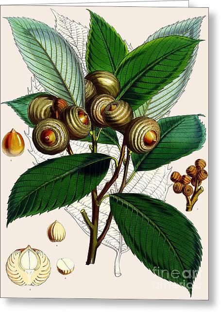 Quercus Lamellosa Greeting Card by Joseph Dalton Hooker