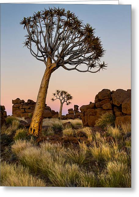 Quiver Tree Aloe Dichotoma, Quiver Tree Greeting Card by Panoramic Images