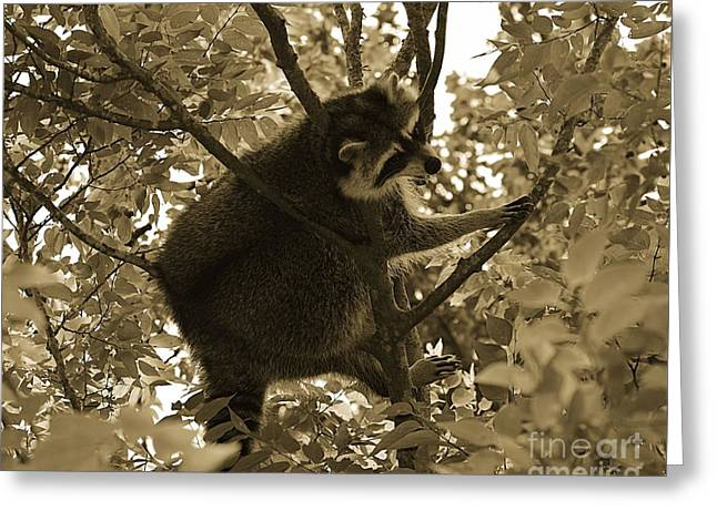 Raccoon  Greeting Card by Janice Spivey