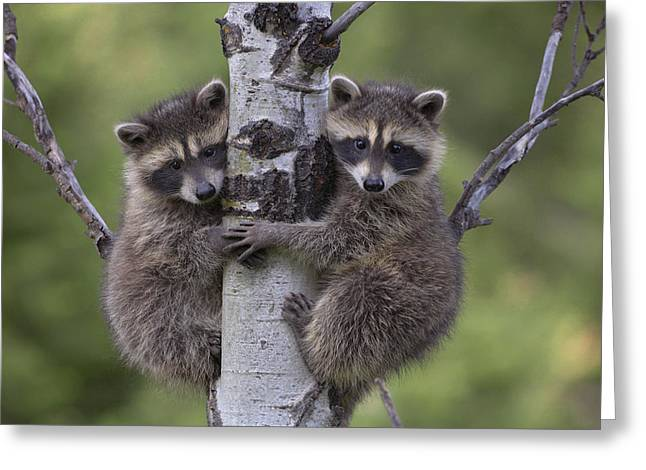 Two Animals Greeting Cards - Raccoon Two Babies Climbing Tree North Greeting Card by Tim Fitzharris