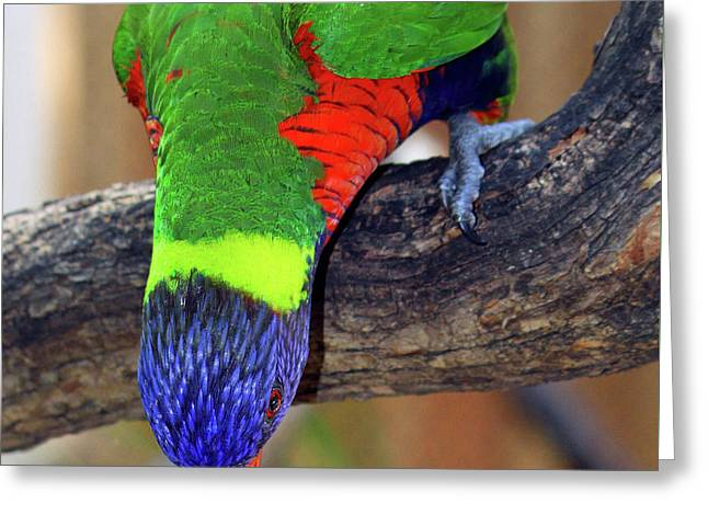 Rainbow Lorikeet Greeting Card by Inspirational Photo Creations Audrey Woods