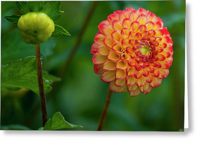 Red And Yellow Dahlia - Square Greeting Card
