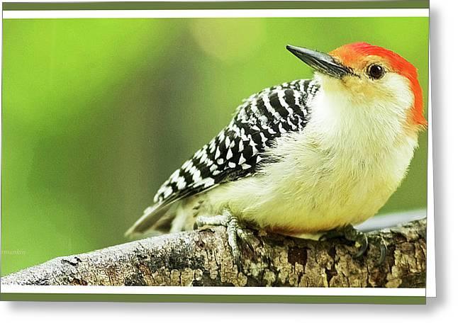 Red Bellied Woodpecker, Male, Animal Portrait Greeting Card