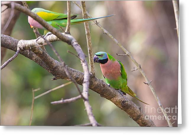 Red-breasted Parakeets, India Greeting Card