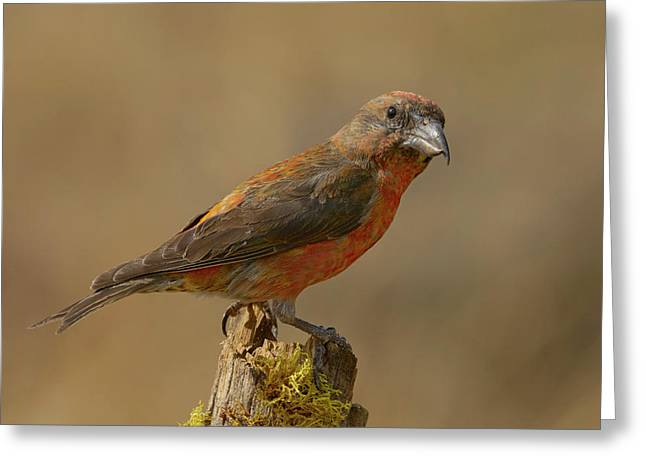 Red Crossbill Greeting Card by Doug Herr