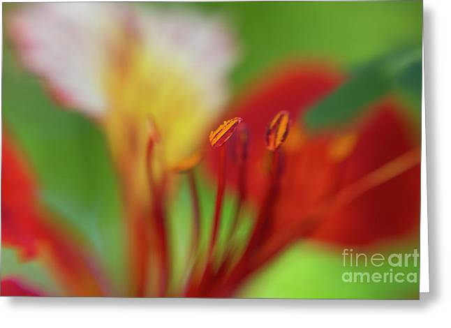 red flower of the Delonix regia tree Greeting Card
