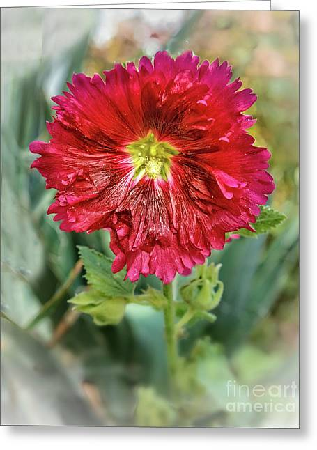 Red Hollyhock Greeting Card by Robert Bales