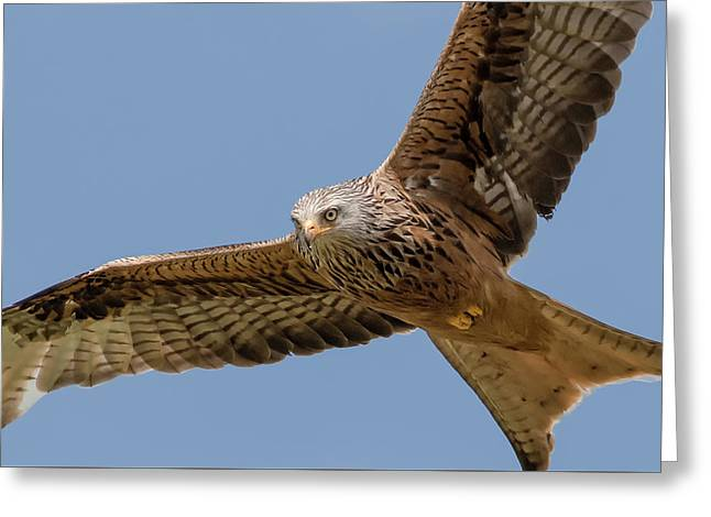 Red Kite Greeting Card by Ian Hufton