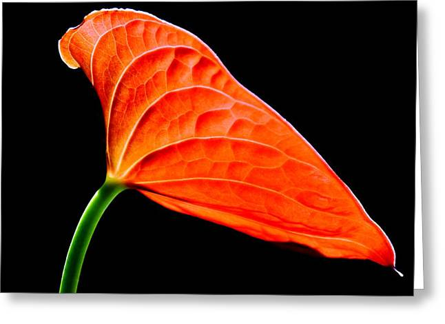 red Lily blossom Greeting Card
