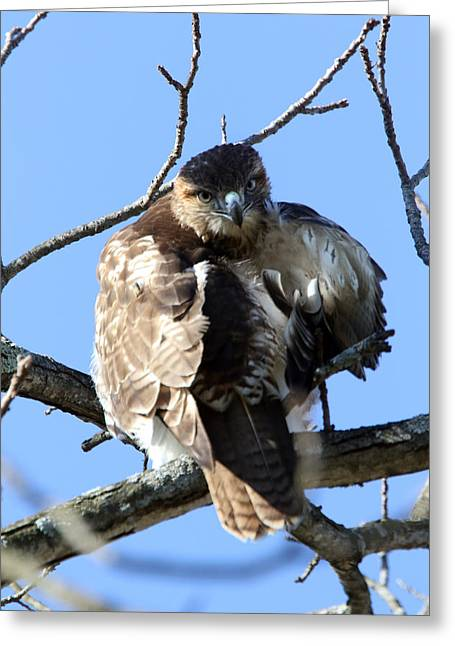 Red Tail Greeting Card by David Yunker