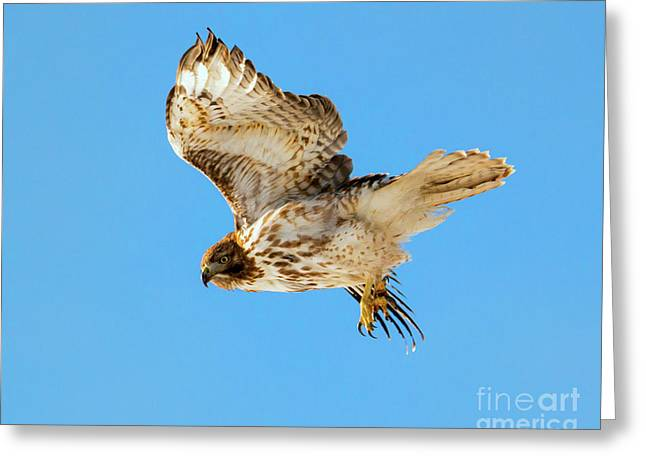 Red-tail Flight Greeting Card by Mike Dawson