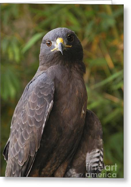 Red Tail Hawk Greeting Card by Marc Bittan