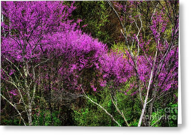 Redbud In The Woods Greeting Card by Thomas R Fletcher