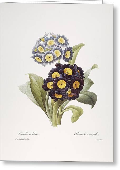 1833 Greeting Cards - Redoute: Auricula, 1833 Greeting Card by Granger