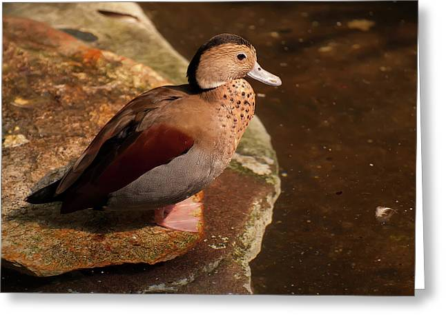 Ringed Teal On A Rock Greeting Card by Chris Flees