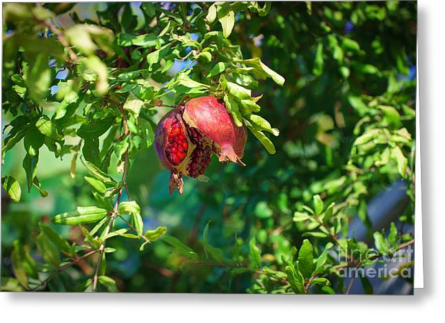 Ripe Pomegranate On The Tree In Jerusalem During Sukkoth Greeting Card