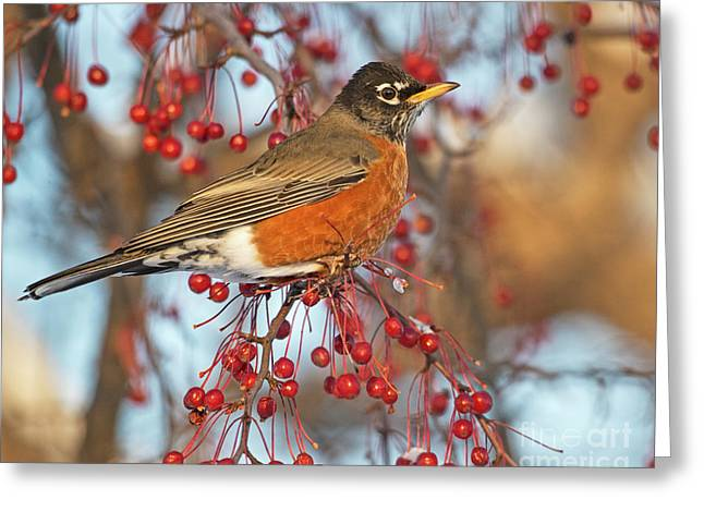 Greeting Card featuring the photograph Robin.. by Nina Stavlund