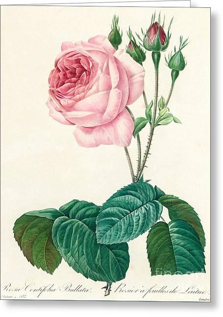 Rosa Centifolia Bullata Greeting Card
