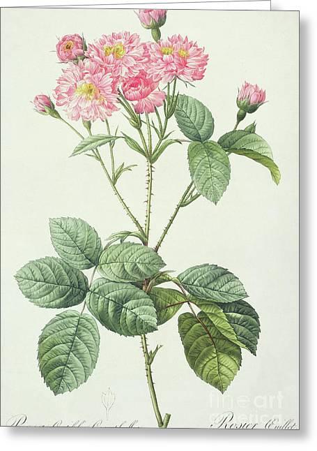 Rosa Centifolia Caryophyllea Greeting Card