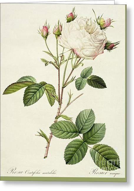 Rosa Centifolia Mutabilis Greeting Card