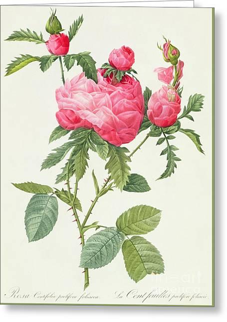 Rosa Centifolia Prolifera Foliacea Greeting Card