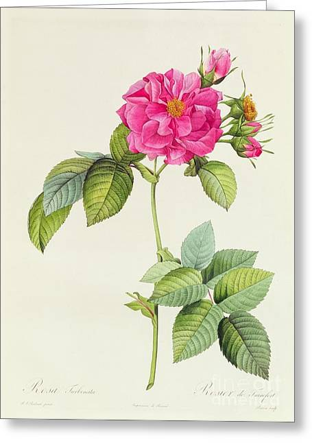 Rosa Turbinata Greeting Card