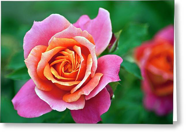 Greeting Card featuring the photograph Rose by Bill Barber
