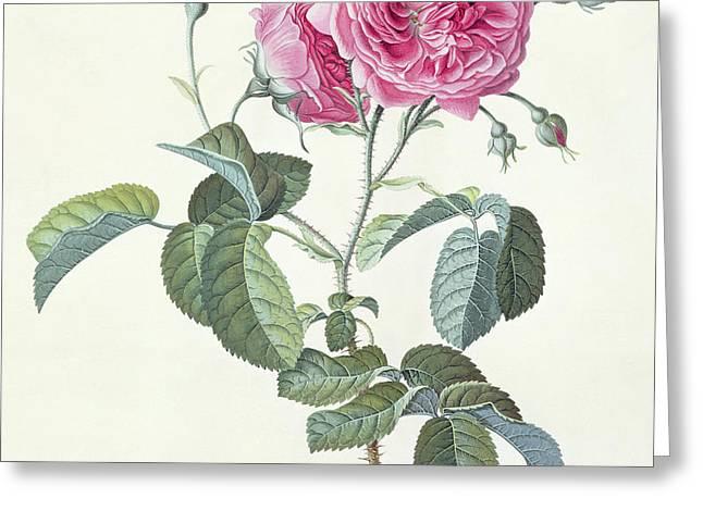 Rose  Dutch Hundred-leaved Rose Greeting Card by Georg Dionysius Ehret