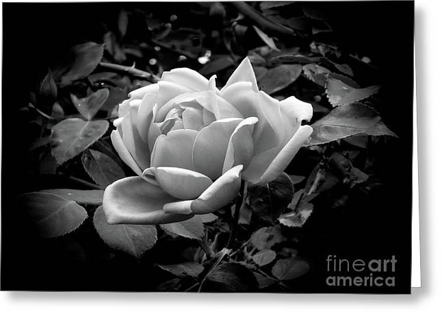 Greeting Card featuring the photograph Rose by Fran Woods