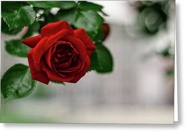 Roses In The City Park Greeting Card