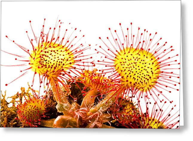 Round-leaved Sundew Drosera Rotundifolia Greeting Card by Gabor Pozsgai