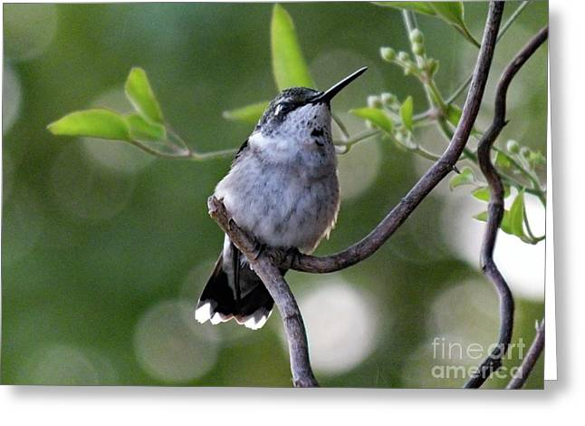 Ruby-throated Hummingbird Greeting Card by Cindy Treger