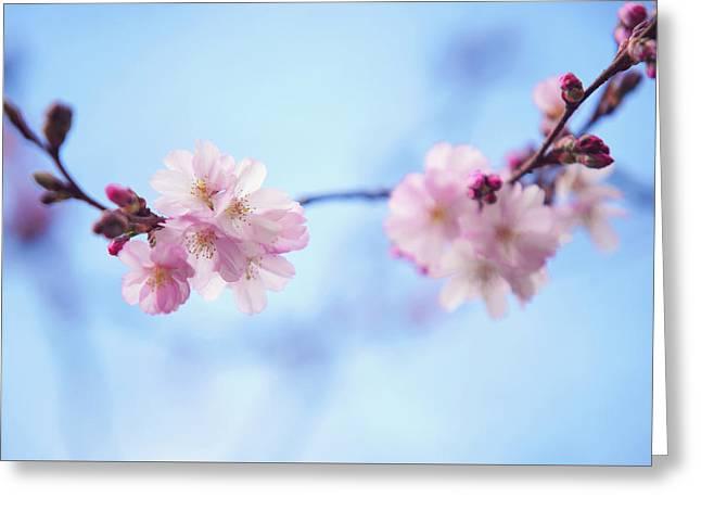 Sakura Blossom Greeting Card by Jenny Rainbow