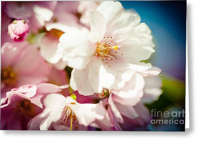 Sakura Blossoms Pink Cherry Artmif.lv Greeting Card by Raimond Klavins