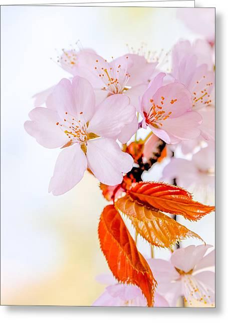 Greeting Card featuring the photograph Sakura - Japanese Cherry Blossom by Alexander Senin